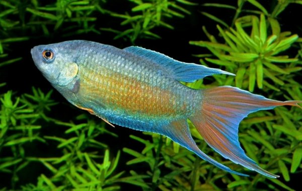 Лабиринтовые аквариумные рыбки, живущие без аэрации: виды, перечень с фото