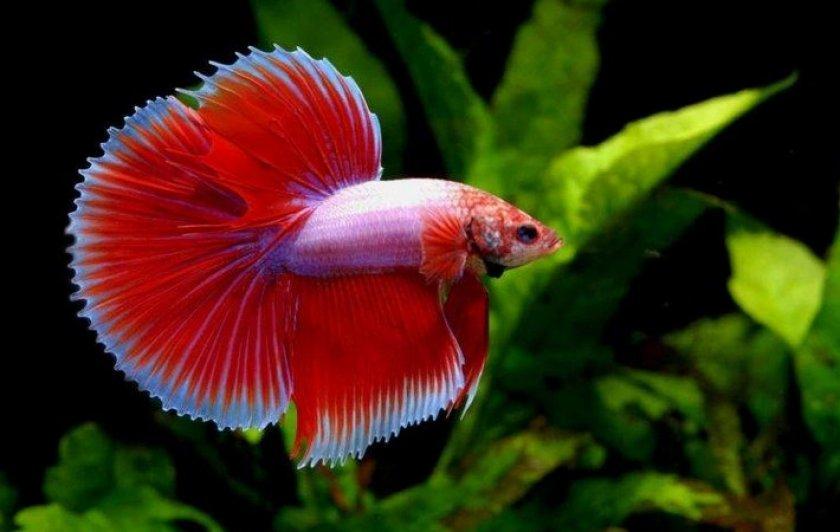 Лабиринтовая рыбка
