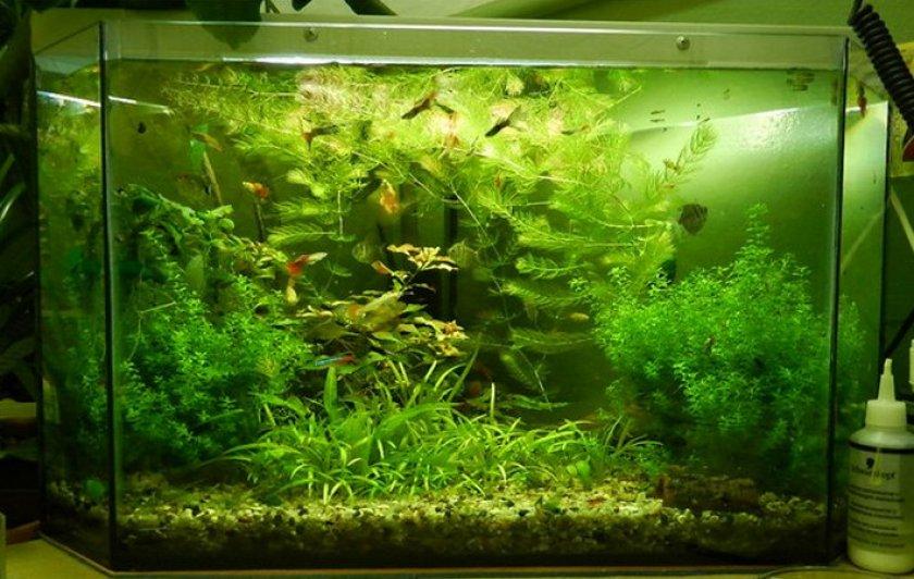Аквариум с лабиринтовыми рыбками