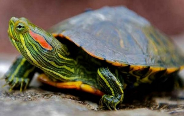 Как отличить пол красноухой черепахи