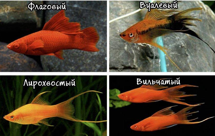 Разновидности плавников меченосцев