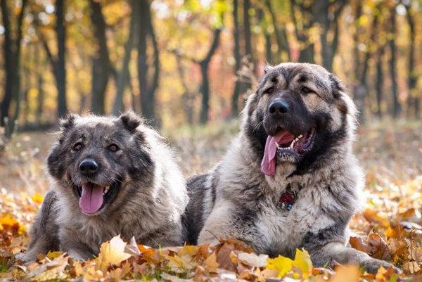 Собака кавказская овчарка - описание и характеристика породы