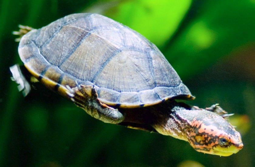 Замыкающаяся черепаха