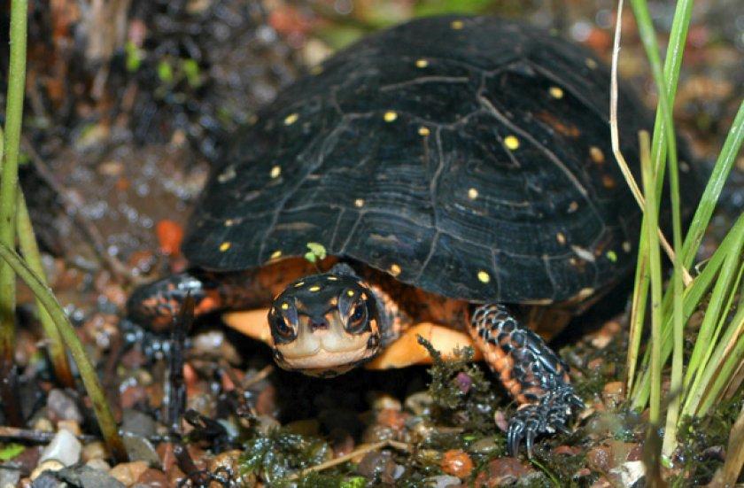 Пятнистая черепаха