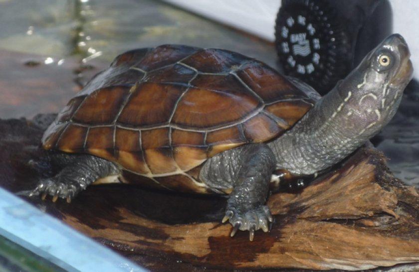 Трёхкилевая китайская черепаха