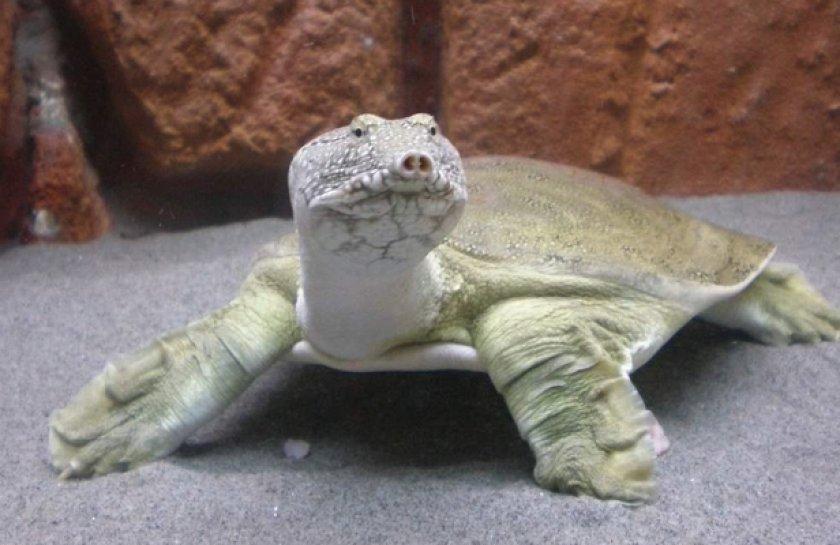 Трионикс черепаха
