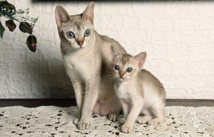 Сингапурская кошка с котенком