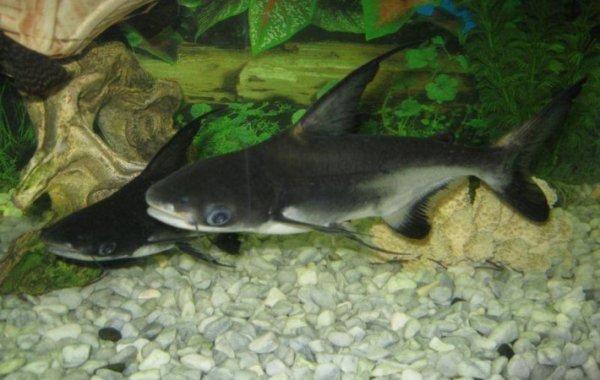 Описание и совместимость акульего сома или пангасиуса с другими рыбами