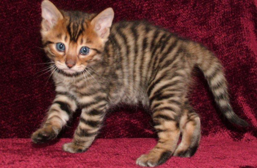 Котенок тойгера