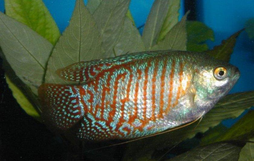 Лабиринтовый вид рыб