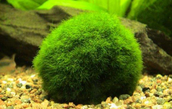 Кладофора шаровидная содержание в аквариуме: фото-видео обзор – домашняя аквариумистика