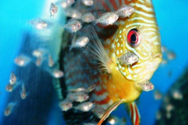 Живородящая рыба