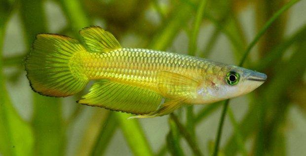 Икромечущие рыбки
