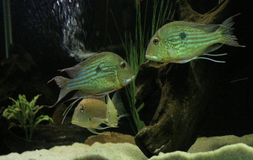 Геофагусы в аквариуме