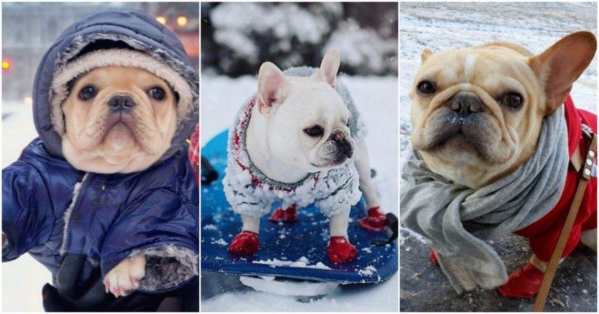 Французские бульдоги в зимней одежде