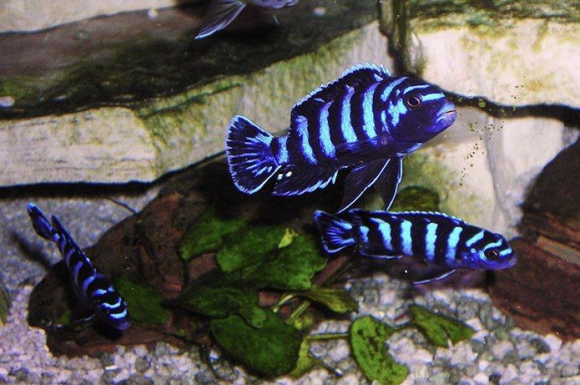 Демасони в аквариуме