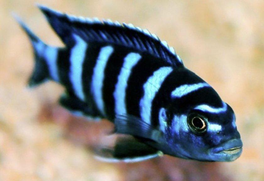 Рыбка демасони