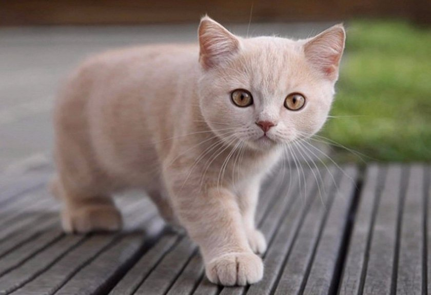 Котенок британской породы