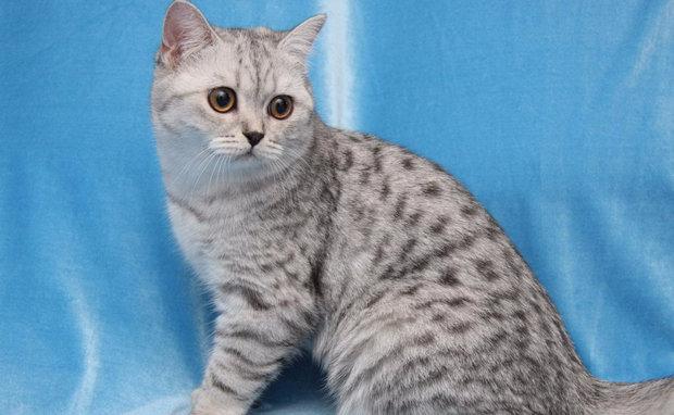 британская пятнистая кошка
