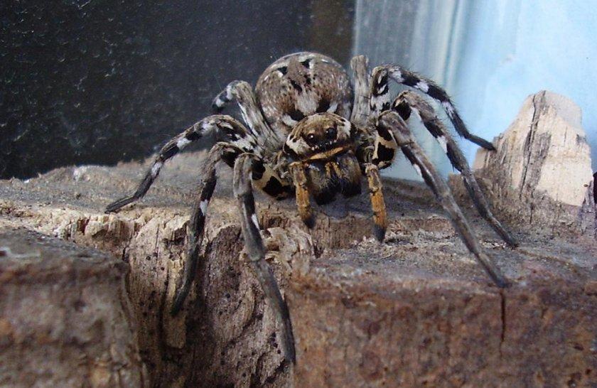 специалисты тарантул в казахстане фото него