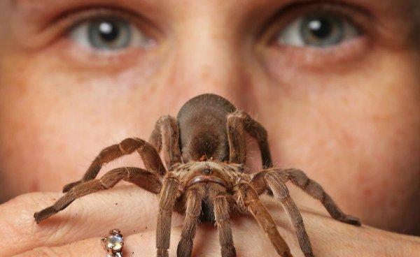 Паук тарантул – фото и описание, где обитает