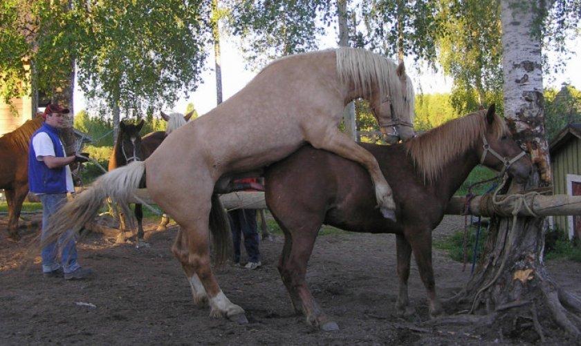 Случка лошади