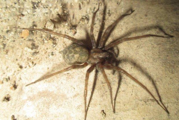Домовой паук