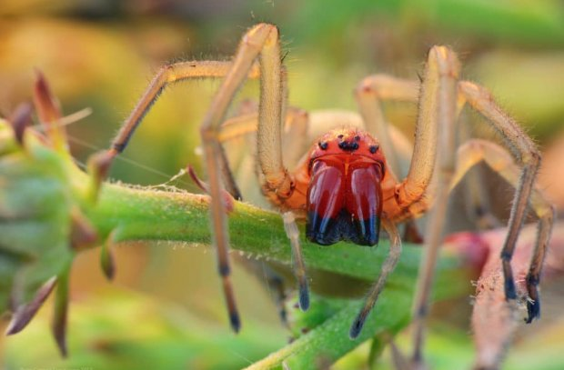 Мешочник (сумочный паук)