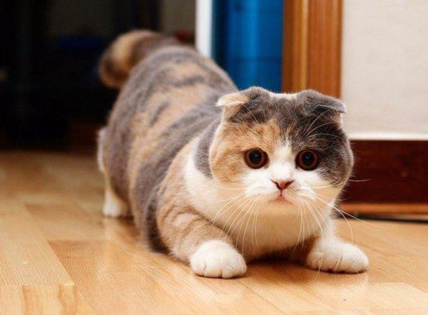 картинки с котиками вислоухими породистыми которых можно пить