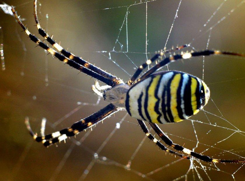Полосатый паук черно желтый фото и описание горячих