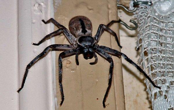 Ученые выяснили, что австралийские пауки способны уничтожить