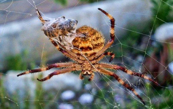 также фото австралийского паука по хорошему тут подхватили кулинары