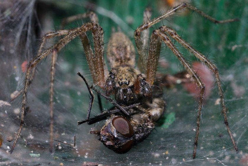 Воронковые пауки и добыча
