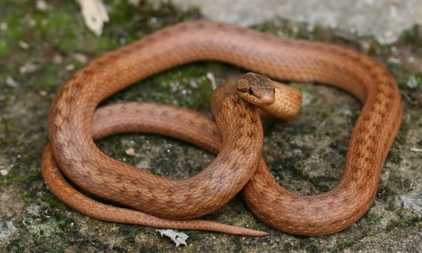 Змея медянка фото и описание