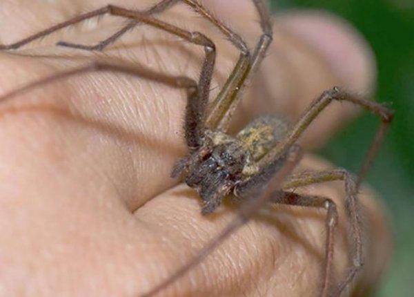 Укус паука (домашнего, птицееда, чёрной вдовы): фото, симптомы, последствия, первая помощь