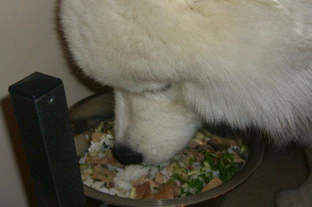 каким сухим кормом кормить самоеда