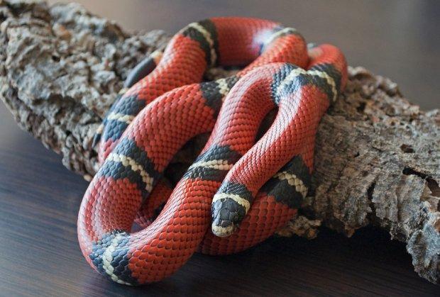 Королевская и молочная змея