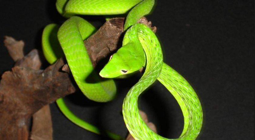Зелёная плетевидка