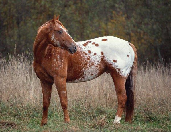 Породы лошадей лошадь аппалуза