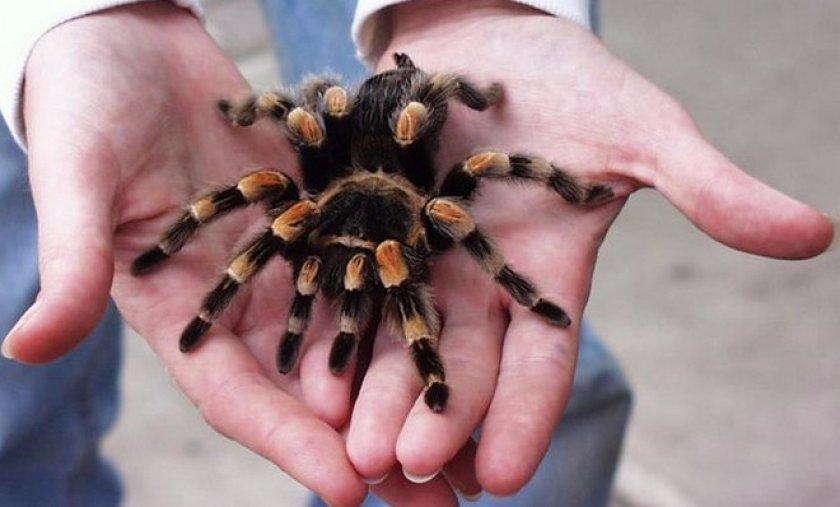 Домашний паук-птицеед