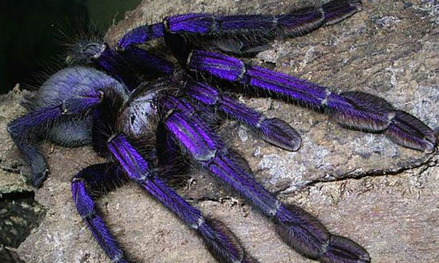фиолетовый птицеед
