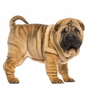знакомство щенка с другой собакой