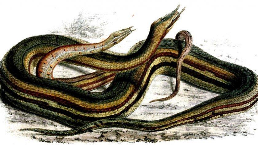 Щупальценосная змеи