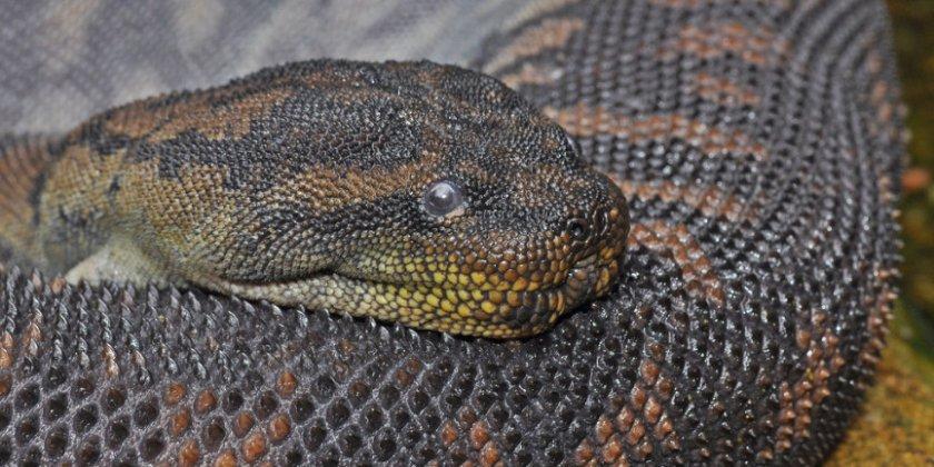 Бородавчатая змея
