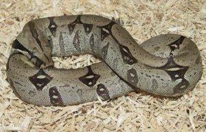 Почему змеи едят сами себя?