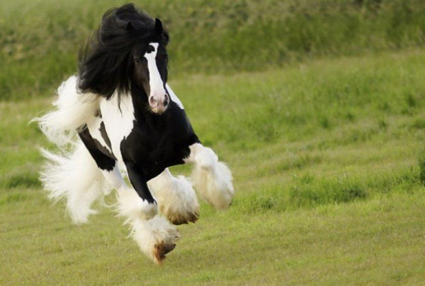 Цыганская упряжная лошадь