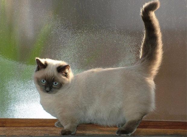 манчкин коты фото