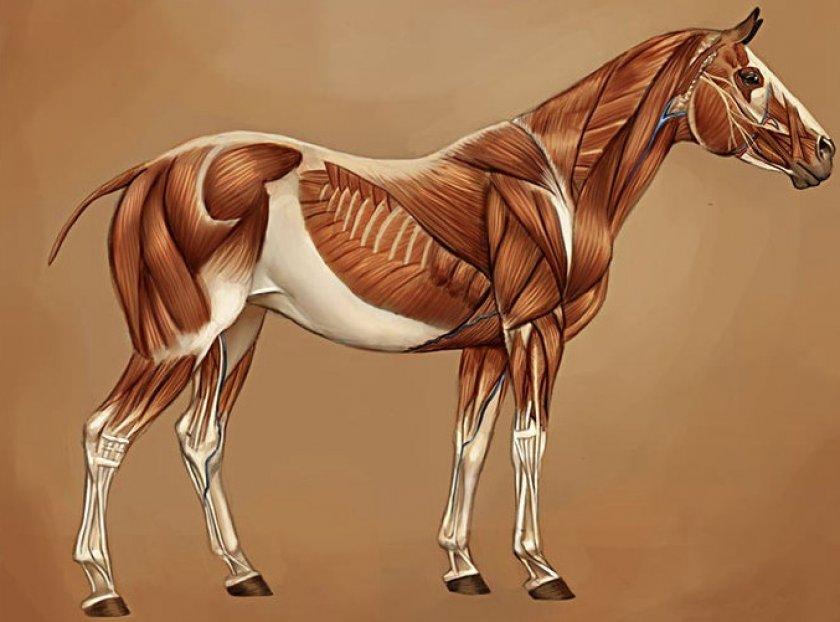 Мышцы коня