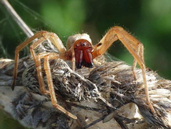Оранжевый паук ядовитый или нет
