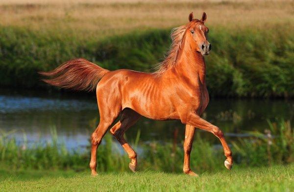 Красно рыжая лошадь